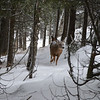 Whitetail deer in the woods.