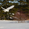 Snowy Owl in flight.