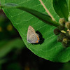 Arcadian Hairstreak
