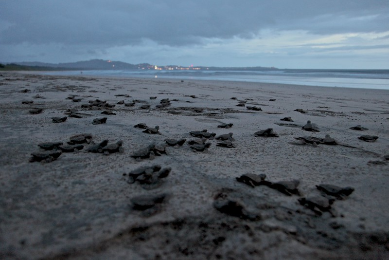 Baby Leatherbacks stumbling toward the waves, only the (surviving) females ever to return, over 15 years later