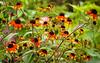 "Rudbeckia triloba ""Red Sport"" (black-eyed Susan)"
