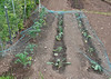 Brassicas netted against Pigeons
