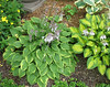 Name: <i>H.</i> 'Little Sunspot'  and Name: <i>H.</i> 'Warwick Curtsey'  2014 - July 8  Another examples of hostas planted next to each other which have reverse colouration and which compliment each other well.