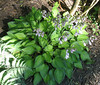 Name: H. 'Tick Tock' - 2013 - July 11  Lots of growth on this one. This is one of the better hostas for ground cover.