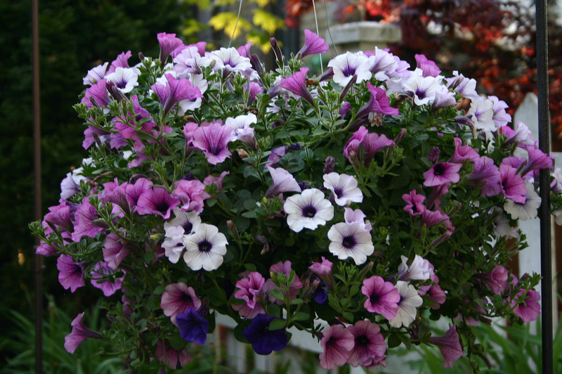 Purple Petunia basket