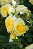 Yellow Rose_922