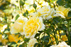 Yellow Rose_926