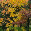 Sugar maple on front border