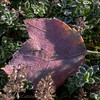 Frosted maple leaf on sage