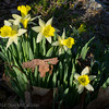 Rock garden daffodils, late afternoon