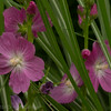 Mallow and ornamental grass