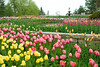 University of Minnesota Landscape Arboretum Annual Garden Spring Tulip display---Gar-3001