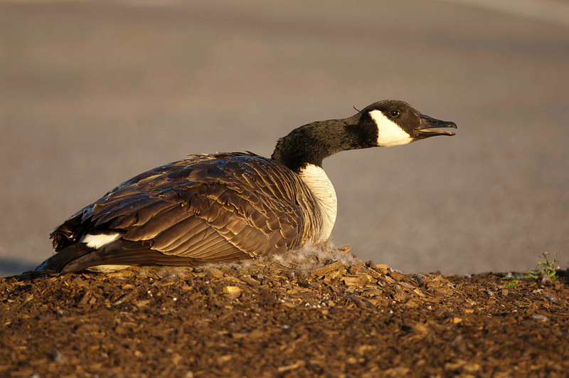 canada goose,female on her nest