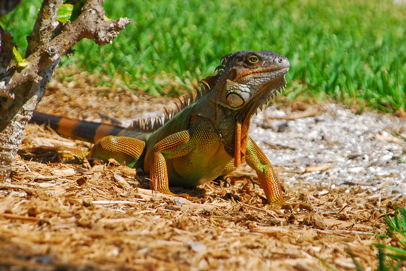 Colorful iguana poses on rocks, showcasing the sharp tines along his dorsal ridge, Sanibel Island, Fl.