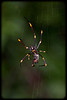Young Female Golden Orb Weaver Spider (Nephila plumipes)