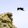 Common Grackle flying out of Elder tree