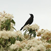 Common Grackle perched at the top of Elder tree