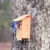 Eastern Bluebird (Male) peeking in the new house!