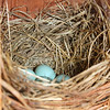 Eastern Bluebird eggs in the Bluebird house
