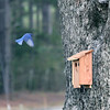 Eastern Bluebird (Male) checking out the new house!