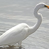 The Great Egret catches a fish!