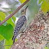 Juvenile Red-Bellied Woodpecker (Female)