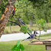 Peanut, the Red-Bellied Woodpecker and the Blue Jays enjoying the buffet!