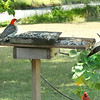 Red-Bellied Woodpeckers at the buffet.  (Left: Male & Right: Female)<br /> A male Northern Cardinal on the limb below.