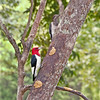 Red-Headed Woodpeckers Velvet and Vito<br /> Top: Juvenile and Bottom: Adult