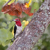Valentino, the Red-Headed Woodpecker, is looking a little worn after the drumming, courting and raising babies!