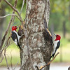 Red-Headed Woodpeckers, Valentino and Velvet.<br /> On the left, Valentino is looking a little rough from all of the drumming, courting  and raising babies!