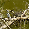 Yellow-Crowned Night-Heron preening his feathers.<br /> Riverbend Wildlife Management Area<br /> Laurens County