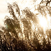 Allegra Boverman/Gloucester Daily Times. Grasses catch the late afternoon sun at Stage Fort Park.