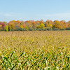 Early autumn corn field