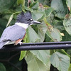 Belted Kingfisher - Fishermans Paradise
