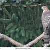 Sharp-shinned hawk at 80 cornfield Lane