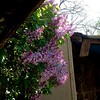 lilacs by the old shed