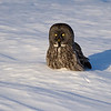 Great Gray Owl Ottawa, Ontario