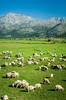 A flock of sheep in a large green pasture on the Lasithi Plateau in eastern Crete, Greece.