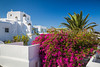 Bougainvillea flowers and palm in Mykonos Town, Chora, Mykonos, Greece, Europe.
