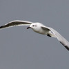 I captured this seagull in flight at Bayfront Park in Daphne AL in October of 2013 on a very overcast day.