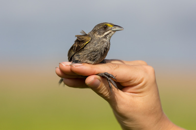 A Seaside sparrow (Ammodramus maritimus) in coastal Mississippi is inspected by biologists as part of a study to understand the migratory habits of this species.