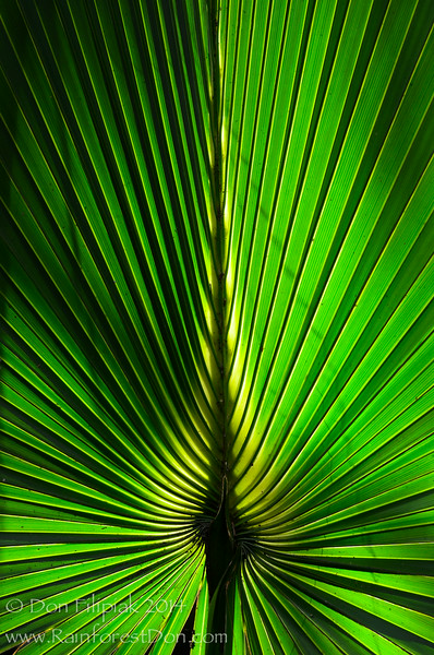 Sabal palm frond in late afternoon light