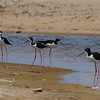 "Black-necked Stilt / Échasse blanche<br> ""Hawaiian"" subspecies<br> <i>Himantopus mexicanus knudseni</i><br> Family <i>Recurvirostridae</i><br> MacArthur Park, Kekaha, Kauai, Hawaii<br> 22 March 2015"