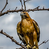 Red-Tailed Hawk (15)
