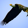 A bald eagle soars over the Susquehanna River at Conowingo, Maryland, Dinner clutched tightly in its claws.
