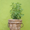 Potted origanum