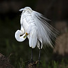 Great Egret (Caddo Lake, Uncertain, Texas)*