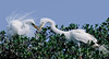 great egrets building a nest