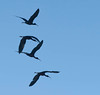 silhouetted flying glossy ibis
